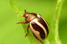 photo of a leaf beetle by Katja Schulz from flickr. Licensed under CC BY 2.0