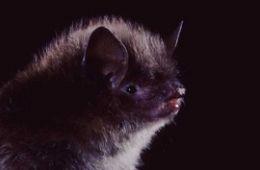 photo of Little Brown Myotis bat