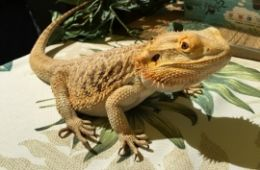 photo of a bearded dragon from Australia, part of Jungle James Animal Adventures program