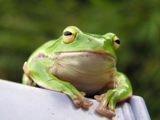close up photo of frog; frog by Yamanaka Tamaki, licensed by CC BY-NC-ND 2.0