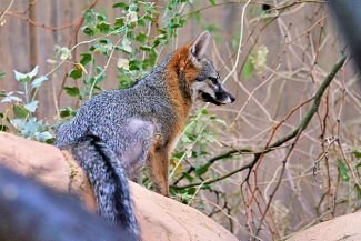 photo of Grey Fox; Gray Fox Vixen by Renee is licensed under CC BY 2.0 on Flickr