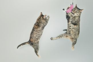 Two cats playing with pink toy.
