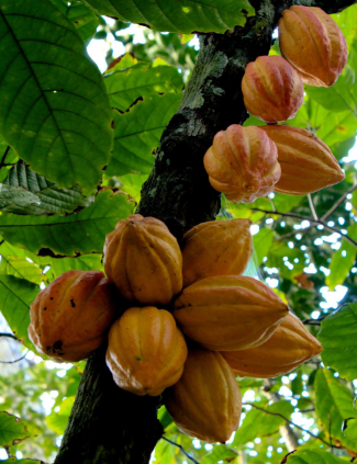 photo of cacao tree; used by permission of SaveNature.org