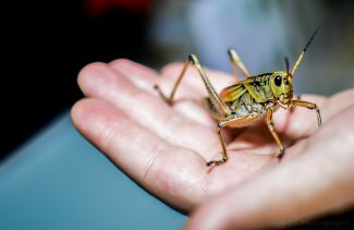 photo of large grasshopper on persons hand