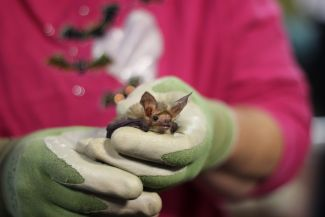 photo of bat held in person's hands; used by permission of Northern California Bats and Corky Quirk