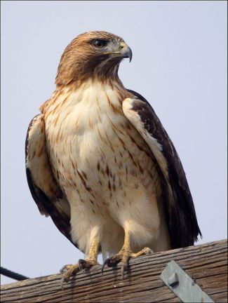 photo of Red-Tailed Hawk; Red Tail Hawk by Pat Gaines is licensed under CC BY 2.0 on Flickr