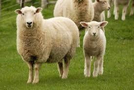image of sheep and lamb